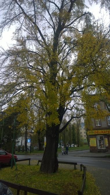 Drzewo miłorząb japoński
